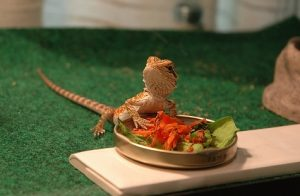 Diet for Bearded Dragons