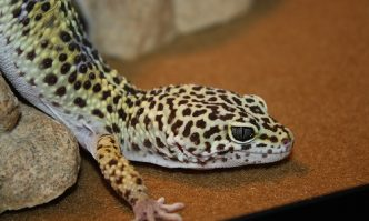 Substrate for Leopard Gecko