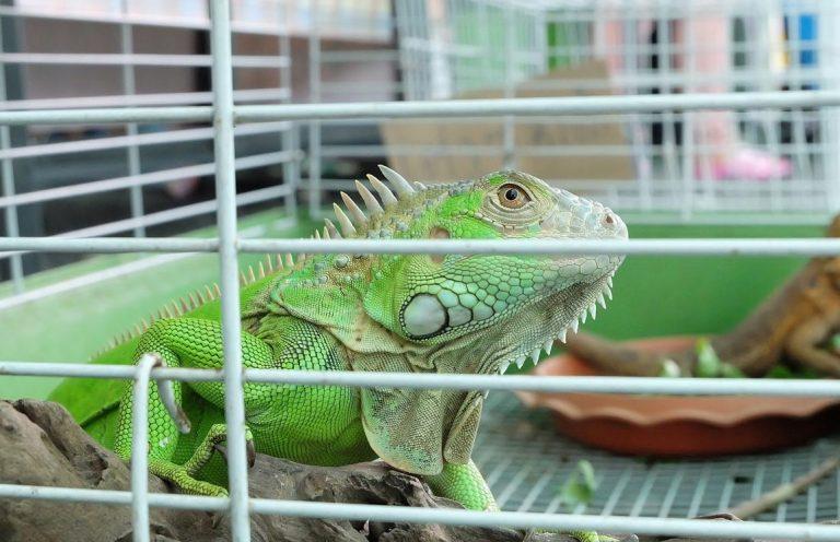 Tertarik Dengan Hewan Reptil Simak Cara Memelihara Iguana Di Rumah