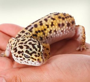 Best Substrate for Leopard Gecko: Reviews & Guide 2019 - My