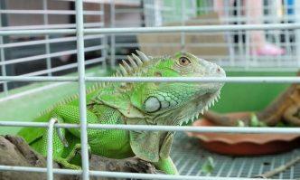 iguana cage