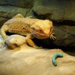 Bearded Dragons eat Worms