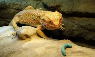 Bearded-Dragons-eat-Worms