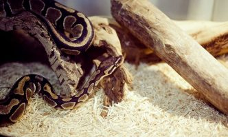 Best Bedding for Ball Python