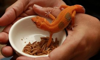 Best Food for Leopard Gecko