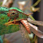 Chameleon eatting