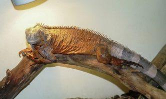 Heat Lamp for Iguanas