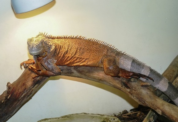 Best Heat Lamp For Iguanas Reviews 2019 My Life Pets