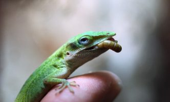 Best Food for Green Anole