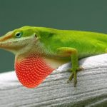 Best Habitat for Green Anoles