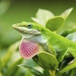 Best Substrate for Green Anole
