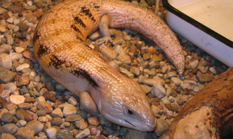 Light for Blue Tongue Skink
