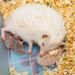 Best Bedding for Hedgehogs