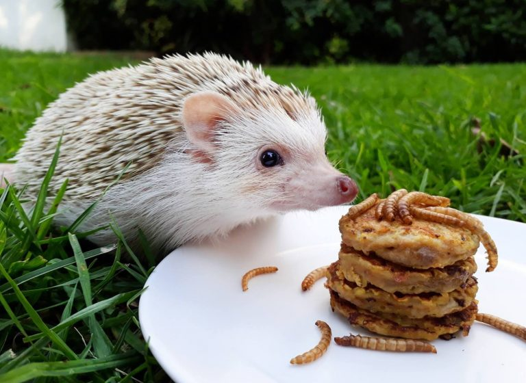 19 Best Food & Cat Food for Hedgehogs 2019: Reviews & Guides