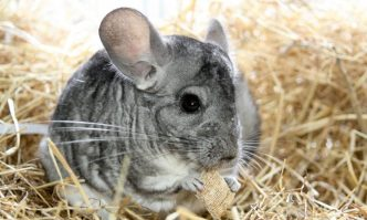 Best Bedding for Chinchillas