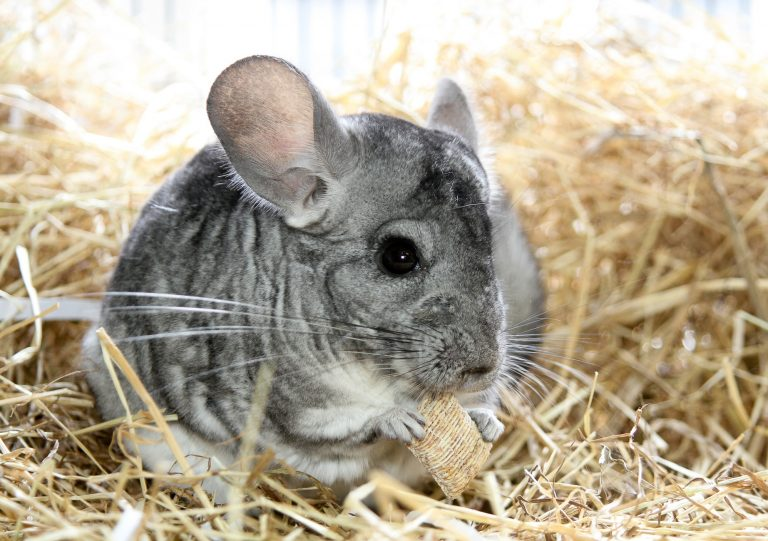 12 Best Bedding for Chinchillas Reviews 2019 - My Life Pets