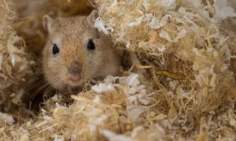 Best Bedding For Gerbils