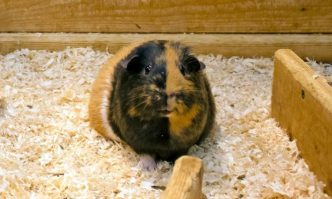 Best Guinea Pig Bedding