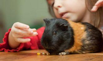 Guinea Pig Treats