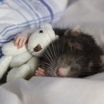 Bedding for Rats